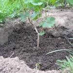 Посадка винограда — Как посадить виноград осенью?