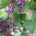 Болезни винограда описание