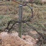 Выращивание винограда и первый уход за ним