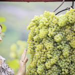 Виноград южный в северных широтах: миф или реальность?