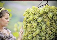 южный виноград в северных широтах