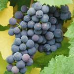 Технической сорт винограда — Альфа