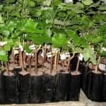 Посадка винограда — Как посадить виноград весной?
