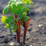 Выращивание винограда: как и чем весной подкормить растения