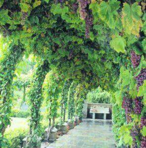 Арочное формирование винограда