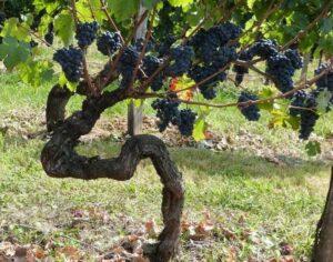 Безрукавная формировка винограда