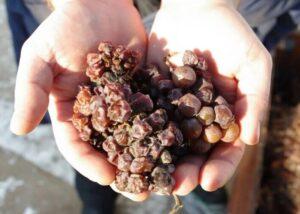Благородная плесень на кустах винограда