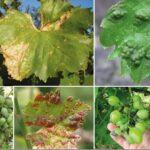 Болезни винограда описание и фото