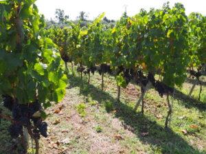 Оптимальное расстояние между кустами винограда при посадке