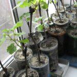 Посадка винограда черенками зимой в домашних условиях