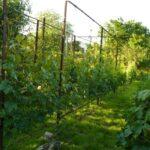 Как выбрать схему посадки винограда весной