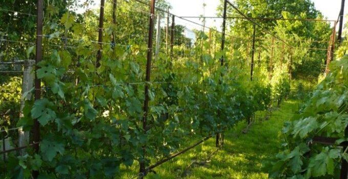 Распланировать посадку винограда весной
