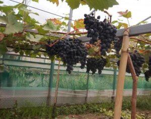 Расстояние между виноградом при посадке