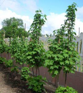 Штамбовая формировка винограда без опор