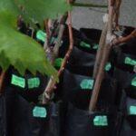 Как выбрать хороший саженец винограда на рынке
