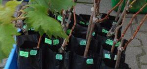 Выбираем хороший саженец винограда на рынке