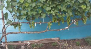 формировка винограда горизонтальный кордон