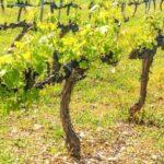 Что собой представляет формировка куста винограда?
