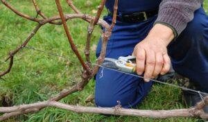 как правильно сделать обрезку винограда