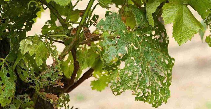 обработка винограда весной от болезней