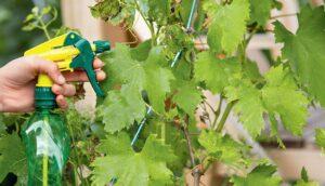 обработка винограда весной от вредителей