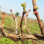 Зачем нужна правильная обрезка винограда?