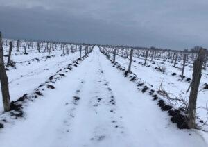 самый северный виноградник в мире