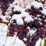 Виноград южный в северных широтах миф или реальность?