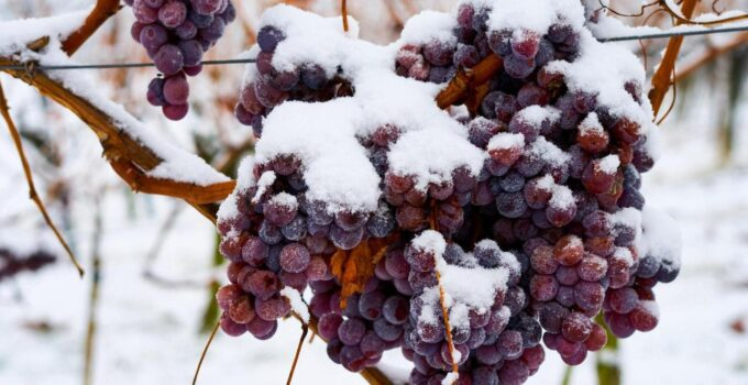 виноградники зимой