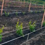 Как правильно вырастить плодородный виноградник