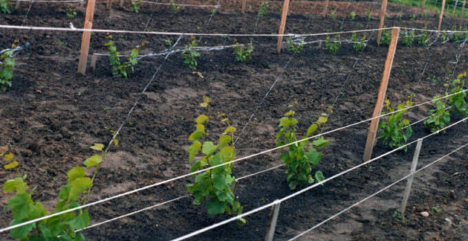 вырастить виноградник
