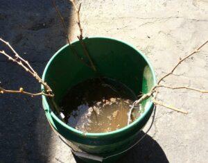 Болтушка для посадки саженцев винограда осенью