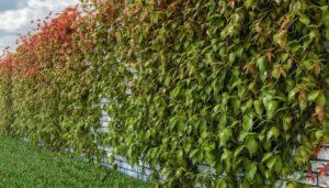 Девичий виноград на заборе
