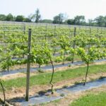Как рассчитать размер для изготовления шпалеры для винограда своими руками