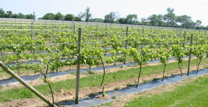 Одноплоскостная шпалера для виноградника