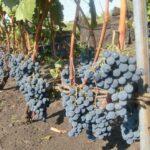 Как быстро растет виноград?