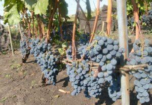 Пик плодоношения винограда