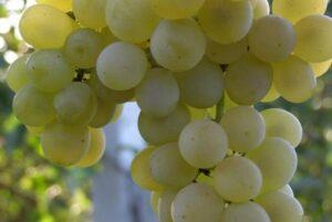 Промышленный виноград Кристал ягоды