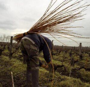 Секреты орошения виноградников с помощью камышовой технологии