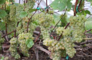 Сорт винограда Кристал