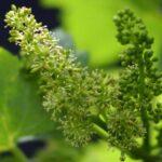 Как определить нагрузку винограда соцветиями?