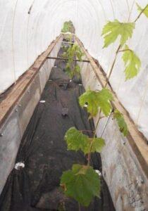 Траншеи для выращивания винограда в Сибири для начинающих