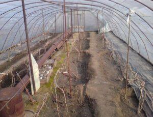 Веерное формирование и обрезка винограда в теплицах