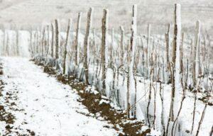 Выращивание винограда в Сибири в открытом грунте