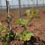Посадка винограда — Как посадить виноград весной саженцами?