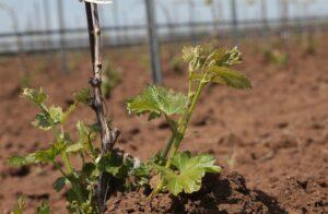 как посадить виноград весной саженцами