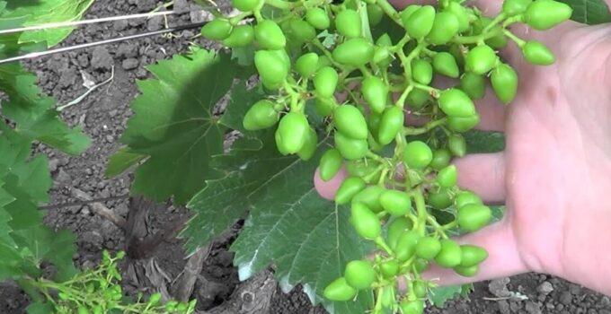Эффективное опыление винограда