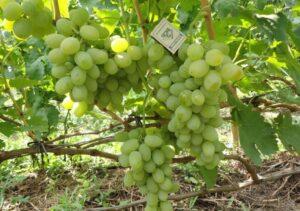Грозди винограда Кеша
