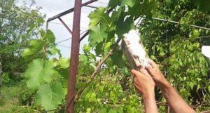 Искуственное опыление винограда