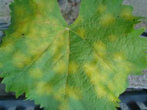 Начальная стадия развития милдью на винограде